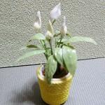 スパシーフィラム ミニチュアの鉢植えを制作しました