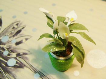 スパシーフィラム ミニチュアの鉢植え